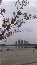 看樱花何必东奔西跑,湿地公园不错