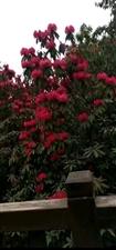 百里杜鹃。花全部开了,好漂亮啊