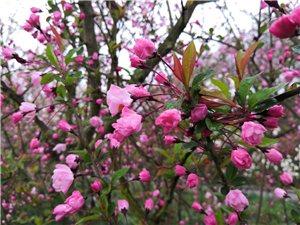 湄潭象山樱花已经含苞如放