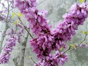 俺的紫荆开花啦。