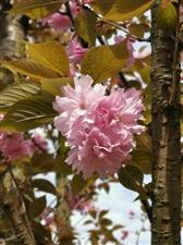 粉红樱花惹人怜