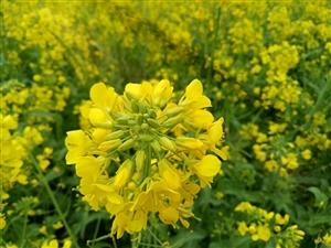 金黄色的花海