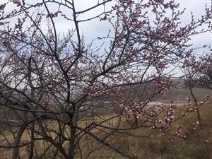 2019年张家川的春天比以往来的��了一点