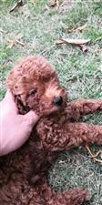 售三只泰迪幼犬