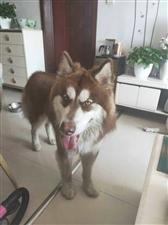 昨天下午四点,阿拉斯加犬在滨州唐赛儿附近跑丢了。有看到者请给联系人打电话18905437716