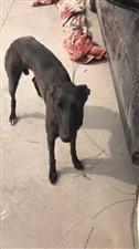 寻犬三月12日晚,在范集钢材市场附近走失一只黑狗,肩高60,胸口带点白毛,因从小养大的感情很深!本人