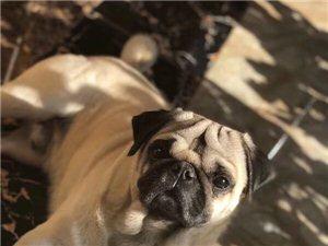 朋友家的小狗八哥犬有人看�的么?