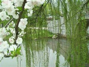 春风裁柳翠含烟,时逢寒食思先贤;梨园飞雪飘飘下,青笛声声啼杜鹃。中华节日,寄一份心底的思念吧