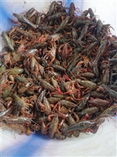 该吃虾了!自家养的小龙虾!安逸的很!