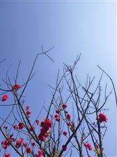 榕江滨河公园樱花?