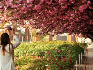 【摄影分享】仰望樱花艳,俯闻牡丹香――乐影作品