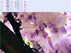 《紫藤花开》晨风哥/摄,东东/文