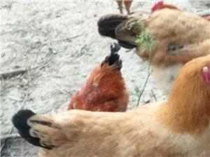 竹林纯粮食散养土鸡18885634585