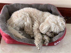 狗狗叫三胖,在滨州中海一号小区丢失(黄河十二路,中海边上)白色小型犬,背上毛有点黄,11岁左右。牙齿