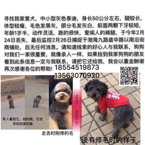 寻找我家爱犬,中小型灰色泰迪,身长50公分左右,腿较长,体型较瘦,毛色发黑灰,部分毛发灰白前面两颗下