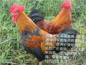 欣鑫生态养殖基地,散养的黑母鸡下的绿壳鸡蛋和土线鸡,营养价值特别高,现在厂价直销,欢迎大家来选购。感