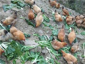 靖豪生态土鸡养殖……城市在发现……