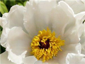 何人不爱牡丹花,占断城中好物华。疑是洛川神女作,千娇万态破朝霞。