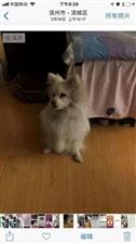 1000元谢谢万能的朋友圈有人看看我家小狗昨天下午5:30在渤海24路附近迷失,麻烦看到的,或是捡到