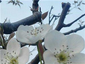 春天里那��百花�_之梨花篇