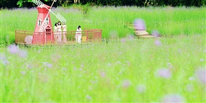 花海美女,和陌生人一起在黄沙看马鞭草花。。。