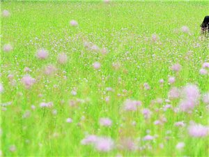 花海美女,和陌生人一起在�S沙看�R鞭草花。。。