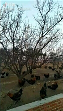 生态果园溜达鸡