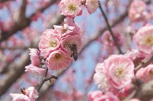 蜜蜂踩蜜蜂啊