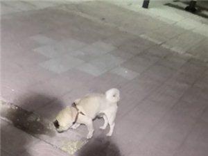 2019年4月17日晚上志愿者在滨州市立医院附近捡到一只八哥,丢失八哥犬的请联系志愿者151699