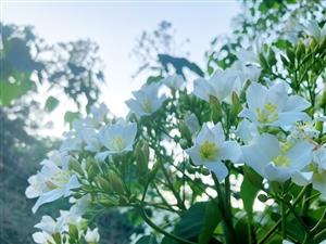 春末油桐花开