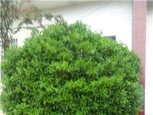 处理自家的冬青树