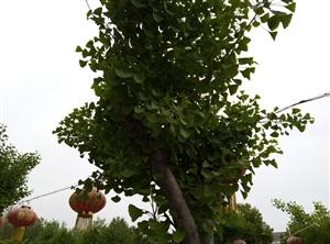 碧绿的银杏树