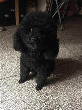 寻黑色泰迪狗
