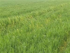 菩提园中的麦子