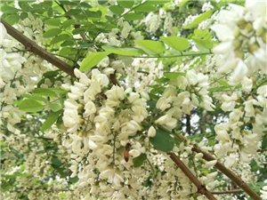春天里:老家门前槐花美