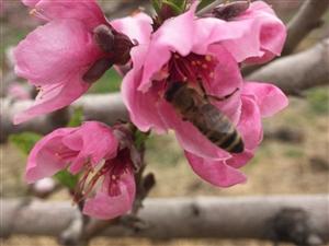 桃花开在四月天