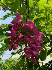 紫槐赞(和鸿姐、卉姐)
