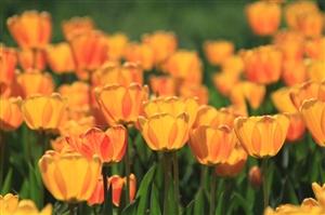 红湾花海盛开娇艳美丽的郁金香