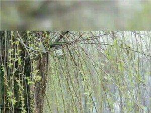 泸州张坝桂圆林和泸州滨江路3月花季实拍