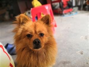 博美犬求领养。希望爱狗人士联系我。
