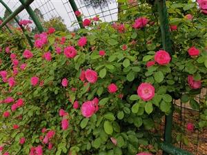 醉美蔷薇绽放时