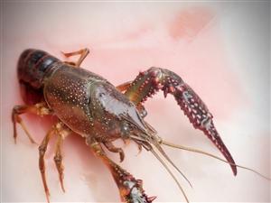 吃虾虾了,家里自养虾自己的虾塘,卫生,虾大,肉多