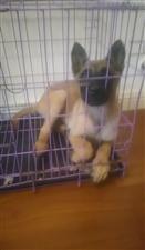 出售双血统纯种马犬幼犬,两个多月大