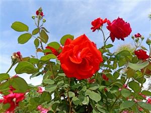盛开的月季花