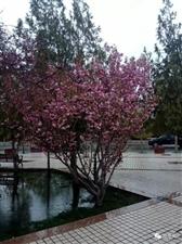 瓜州樱花??又到了开花的季节!
