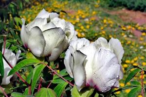 盛�_的芍�花