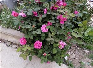 漂亮的月季花开了,花香四溢。