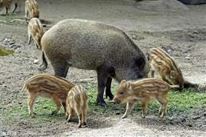 特种野猪仔野猪肉