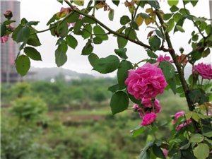 农村老太拍的鲜花盛开