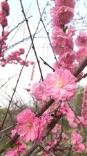 铁力市政广场初夏,桃红柳绿啦,快来赏花吧